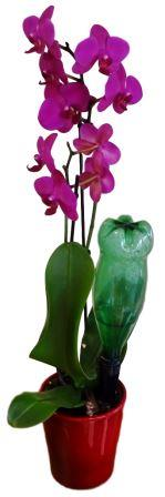 Arrosage orchidée avec l'Orchi-Buddy Solar-Dripper ®
