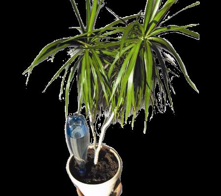 Superbe palmier bénéficiant du goutte à goutte solaire Solar-Dripper