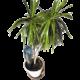 Superbe palmier bénéficiant d'un arrosage automatique goutte à goutte